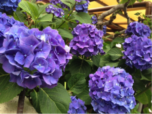 Hydrangeas in the rainy season