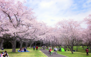 7 things you should bring Ohanami and these are all you can get in the 100yen shop.