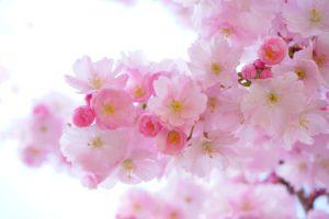 The Reason Why Japanese Love Sakura