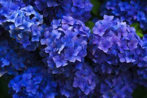 初夏的日本:去赏绣球花吧!