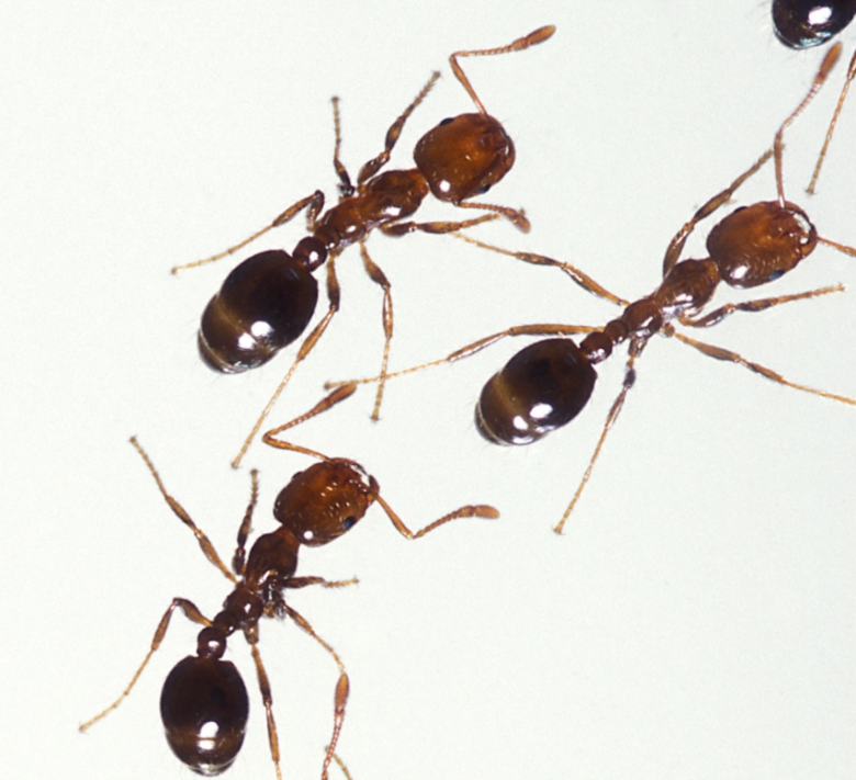 5 Horrible facts you need to know about Red Imported Fire Ants! Red Ants are coming to Japan!