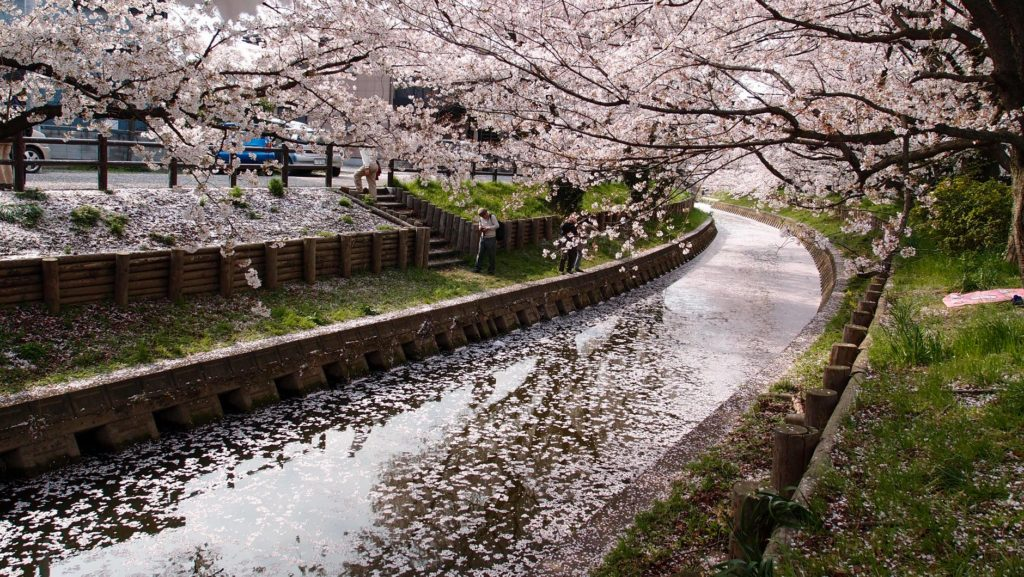 Tips To Enjoy Cherry Blossom Season In Japan Guidable