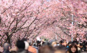 Фестиваль Цветения Вишни (お 花 見): Советы О Том, Как Воспользоваться Преимуществом Этой Весенней Традиции