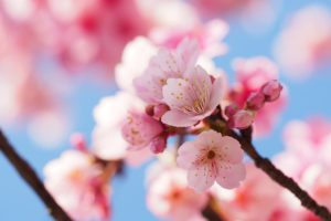 6 Cоветов к Празднованию Наблюденя Цветения Вишни в Японии