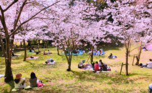 5 Questions About Cherry Blossom Viewing in Japan