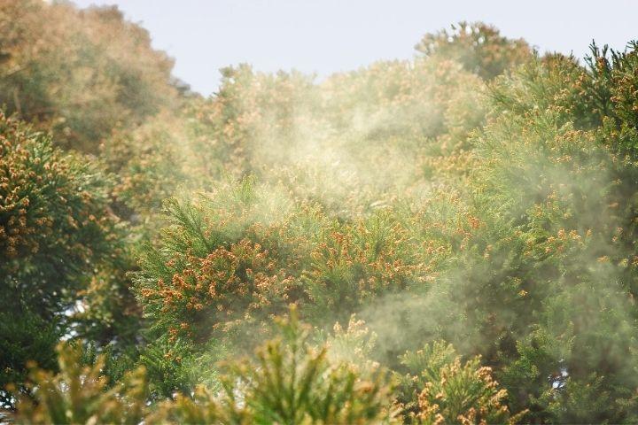 sugi hay fever spring