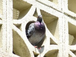 Is Your Apartment a Breeding Ground for Pigeons? How to Keep Them Away!