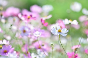 Fall is the Season to Enjoy Cosmos in Japan