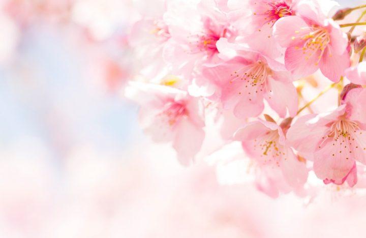 cherry blossom, Hanami