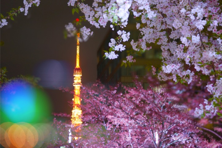 cherry blossoms in tokyo, sakura in tokyo, tokyo tower