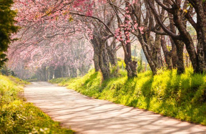 cherry tree garden, Hanami, Sakura