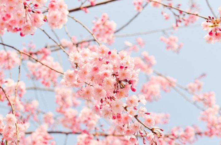 Sakura, Hanami, Cherry tree