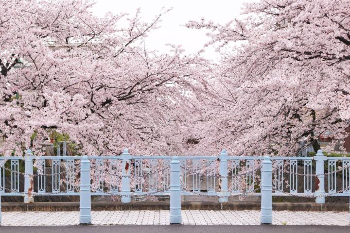 japanese nature, sakura
