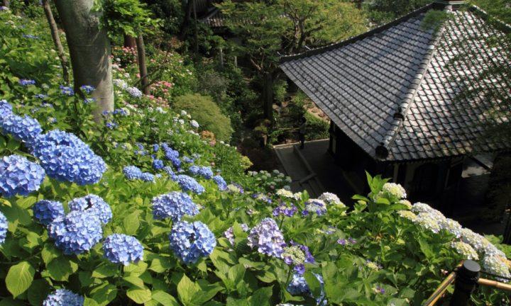 Instagrammable Hydgrangeas Hasedera Kamakura